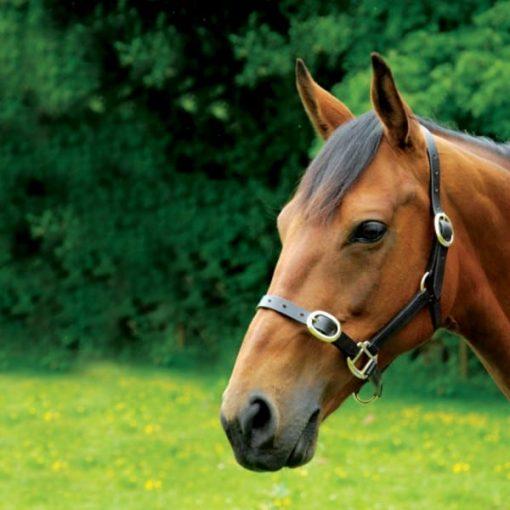 Celtic Equine Brown Leather Halter